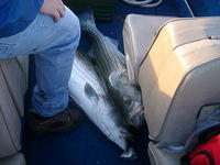 DBay_05-24-06_2stripers_on_floor
